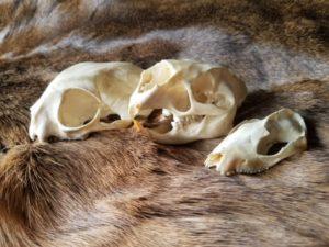 mammals/skins and skulls
